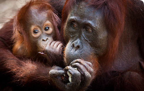 Orang-utans, Pongo species, are endangered in both Borneo and Sumatra