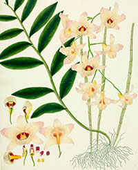 Orchid, Dendrobium species, watercolour, 1848