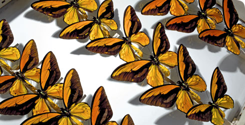 A drawer of Wallace's golden birdwing butterfly specimens, collected by Alfred Russel Wallace
