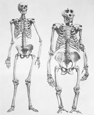 Drawing of human and gorilla skeletons by Richard Owen, 1866