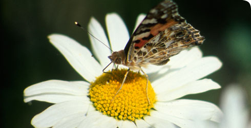 An ox eye daisy, Chrysanthemum leucanthemum, in the Museum's wildlife garden