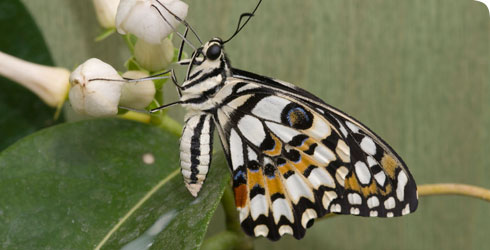 The swallowtail or common lime butterfly, Papilio demoleus, found in Sri Lanka, India and Australia