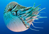 Swimming pearly nautilus, Nautilus pompilius