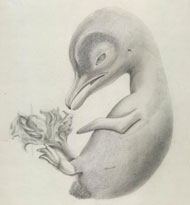 Drawing of penguin embryo by Dorothy Thursby-Pelham