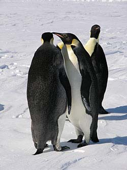 The resident emperor penguins are clearly curious about us and our work © David N Thomas