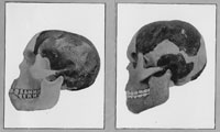 Comparison of Smith Woodward's (left) and Keith's reconstruction of the skull of Piltdown Man