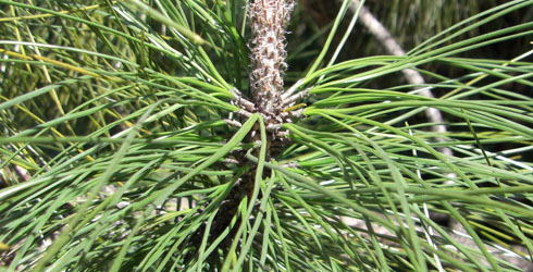 Needles of the 3-needled pine