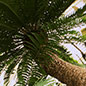 Cycads are one of the world's most threatened plant groups