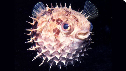 Masters of defence, the porcupinefish inflates to more than 3 times its size when threatened