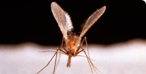 Sandflies can spread the disease leishmaniasis