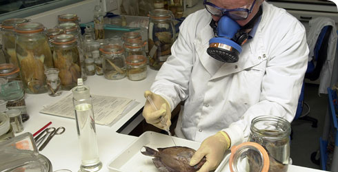 A scientist preparing a fish specimen
