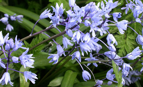 Bithynian squill, Scilla bithynica