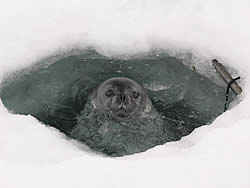 A curious Weddell seal decided to make our sediment trap hole its home for a few days © David N Thom