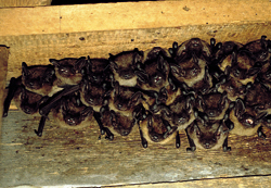 A group of serotines, eptesicus serotinus