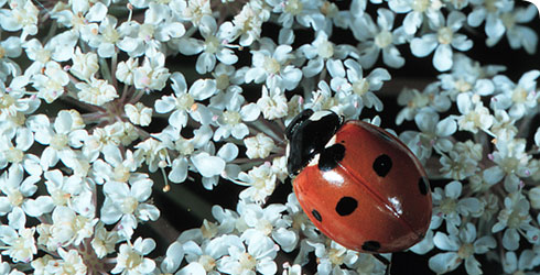 A 7 spot ladybird, Coccinella 7-punctata, on a flowering plant