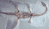 Skeleton of a young plesiosaur