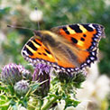 Small tortoiseshell butterfly - once common in gardens but its numbers have fallen