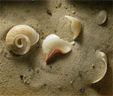 Snail shells on the beach at Unawatuna, Sri Lanka