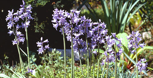 Spanish bluebell, Hyacinthoides hispanica