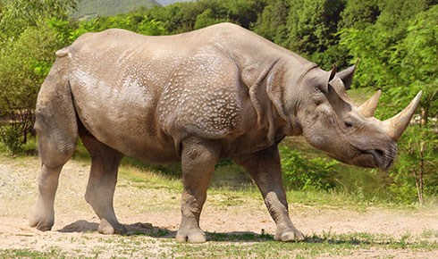 Rhinoceros, Stephanorhinus species