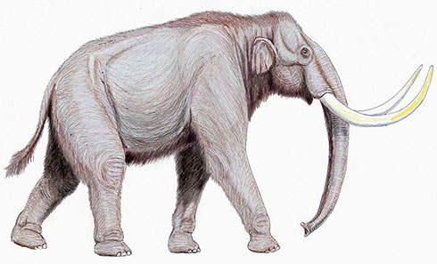 Steppe mammoth, Mammuthus trogontherii