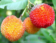 Strawberry tree fruit ripens after a year to a vivid red colour