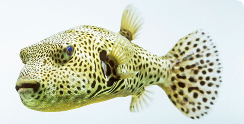 A pufferfish from the Tetraodontidae family