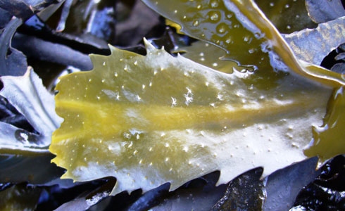 Toothed wrack, Fucus serratus