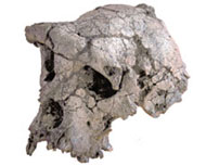 Sahelanthropus tchadensis skull discovered in Chad in 2001