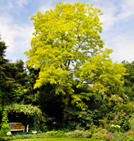 Yellow-leaved form of Robinia pseudoacacia