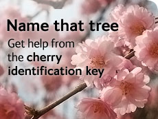 Name that tree - get help from the cherry identification key
