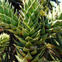 Monkey-puzzle leaves