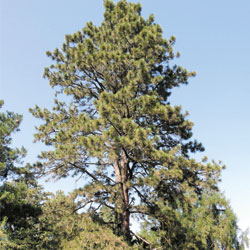 3-needled pine tree