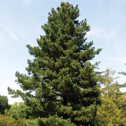 5-needled pine tree
