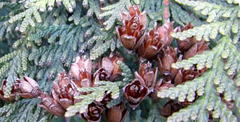 Western red cedar cones   169  Bob PressWestern Red Cedar Cones