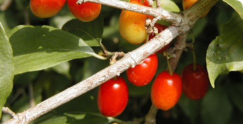 Cornelian cherry fruit
