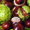 Horse chestnut fruit