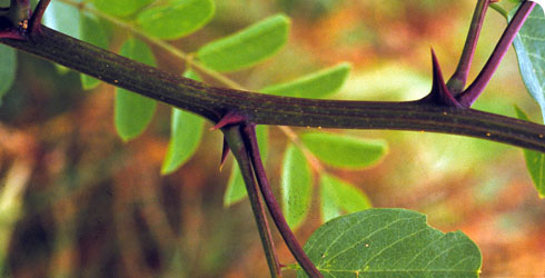 False acacia twig