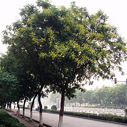 Pride of India tree