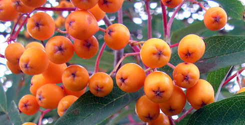 Orange and vermillion-fruit rowan fruit