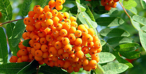 Orange and vermillion-fruited rowan fruit