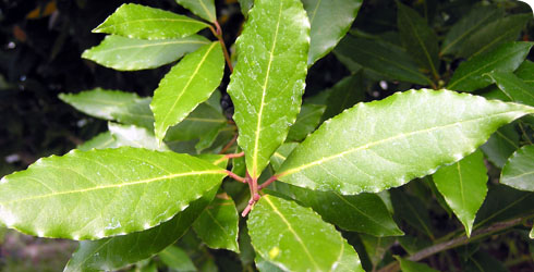 Bay tree leaves