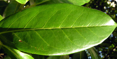 Cherry laurel leaf