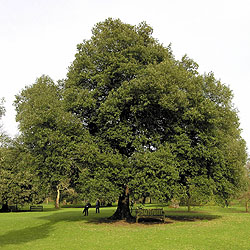 Evergreen oak