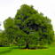 Evergreen oak tree