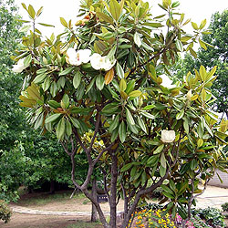 Evergreen magnolia tree