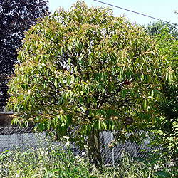 Portugal laurel tree
