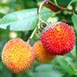Strawberry tree fruit