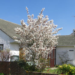 Amelanchier (mespil) tree