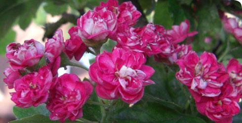 Hawthorn Tree Flowers Hawthorn Flowers